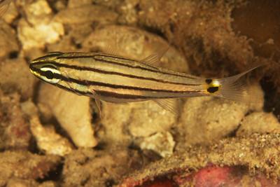 Cheilodipterus novemfasciatus