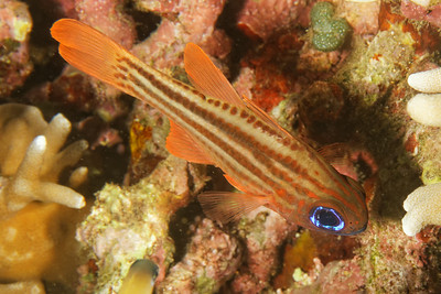 Apogon compressus - Split banded cardinalfish
