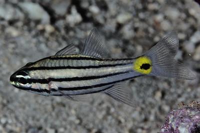 Cheilodipterus quinquelineatus