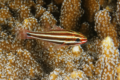 Apogon angustatus - Striped cardinalfish