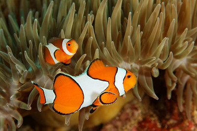 Amphiprion ocellaris - Similan islands, Thailand -  Andaman Sea.
