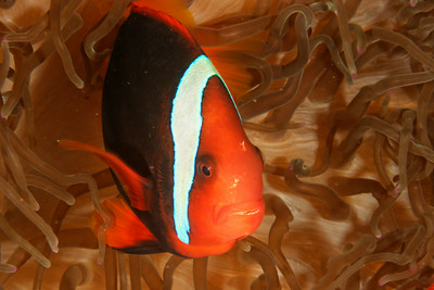 Amphiprion melanopus - Red and black clownfish