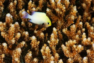 Dascyllus marginatus - Red Sea Dascyllus