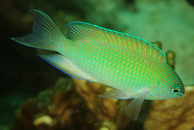 Pomacentrus pavo - Andaman Sea