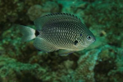 Pomacentrus albicaudatus - Whitefin damsel