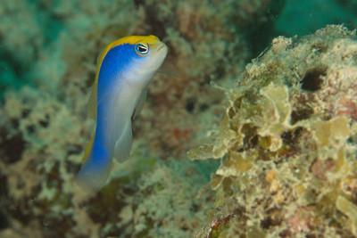 Pseudochromis flavivertex - Djibouti, November 2011
