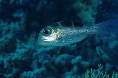 Monotaxis grandoculis (juvenile)