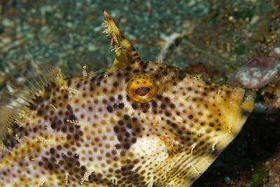 Pseudomoncanthus macrurus