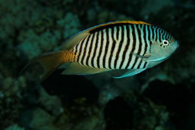 Genicanthus caudovittatus Zebra angelfish