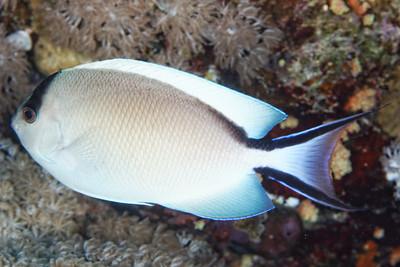 Genicanthus caudovittatus -Zebra angelfish (female)