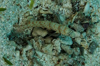 Amblyeleotris guttata - Dotted shrimp goby