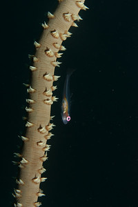 Bryaninops yongei - Wire coral goby