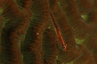 Pleurosicya sp.