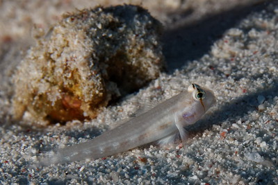 Gnatholepis anjerensis - Eyebar goby