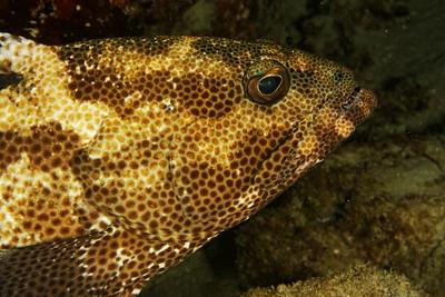 Epinephelus polyphekadion - Marbled grouper