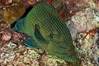 Cephalopholis formosa - Andaman Sea
