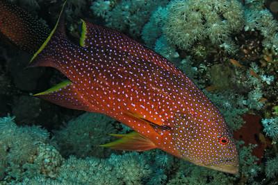 Variola louti - Lyretail grouper