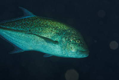 Caranx  melampygus - Blue trevally