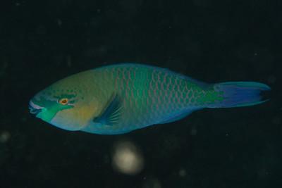 Chlororus sordidus - Djibouti, November 2011