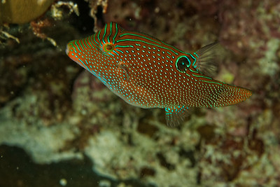 Canthigaster papua