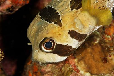 Diodon liturosus - Andaman Sea