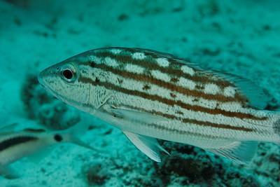 Lutjanus decuussatus - Andaman Sea