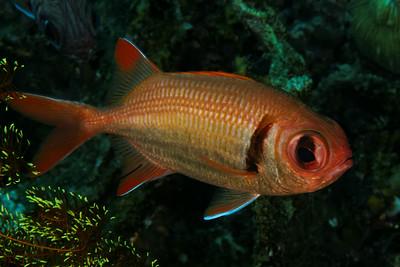 Myripristis kuntee - Epaulette soldierfish
