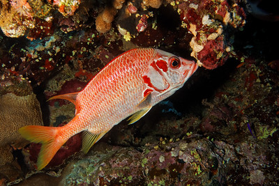 Sargocentron spiniferum - Squirrel fish
