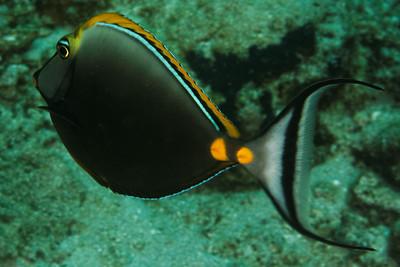 Naso elegans - Orangespine unicornfish