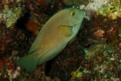 Ctenochaetus truncatus - Andaman Sea