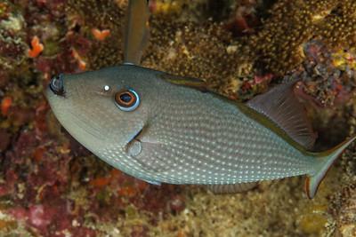 Xanthichthys auromarginatus - Gilded triggerfish (female)