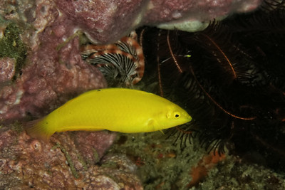 Halichoeres chrysus - Canary wrasse