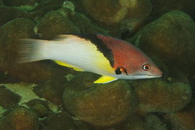 Bodianus mesothorax - Andaman Sea