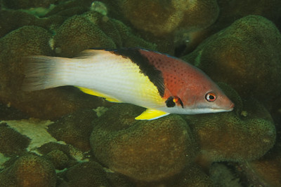 Bodianus mesothorax - Andaman Sea