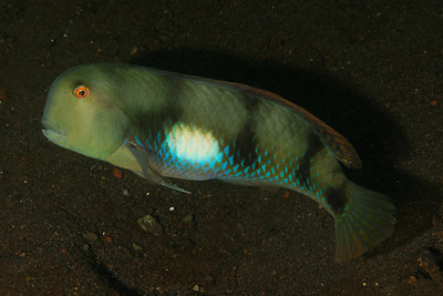 Iniistius pentadactylus