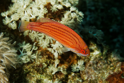 Paracheilinus octotaenia - Red Sea flasher wrasse