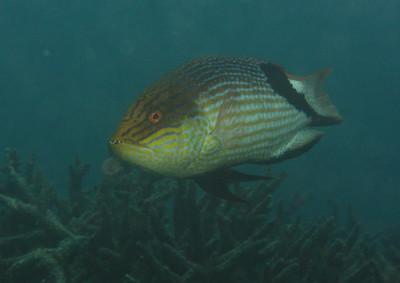 Bodianus loxozonus - Balackfin hogfish