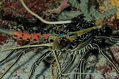 Panulirus versicolor - Painte spiny lobster