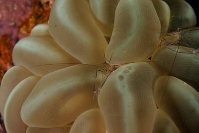 Vir philippinensis