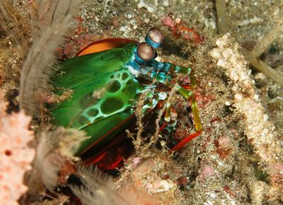 Odontodactylus scyllarus - Mantis shrimp