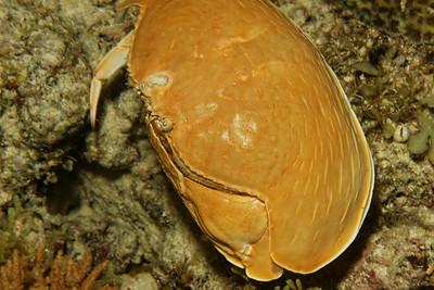 Calappa calappa - Giant box crab