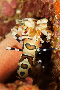 Hymenocera elegans - Similan islands, Thailand, 2011