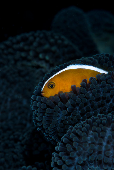 Clownfish, Raja Ampat, Indonesia.