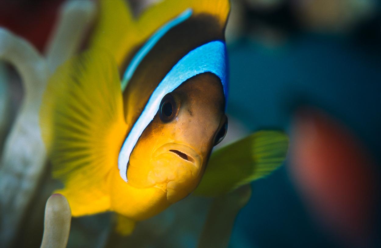 Clownfish, Aqaba, Jordan.
