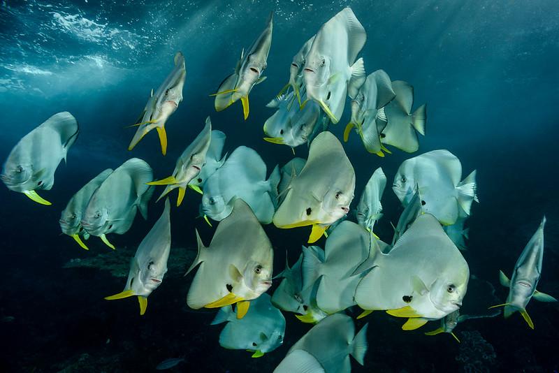 Batfish, Raja Ampat, Indonesia.