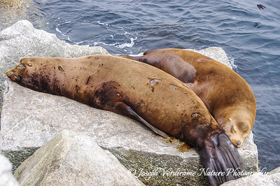 California Sea Lion couple