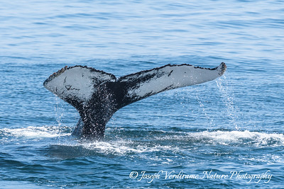 Humpback Tail Fluke (2)
