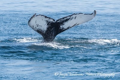 Humpback Tail Fluke (3)