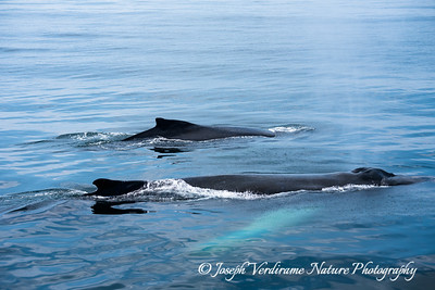 Humpback Whales surfacing (2)