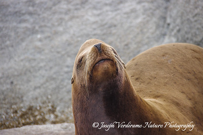 California Sea Lion portrait (1)